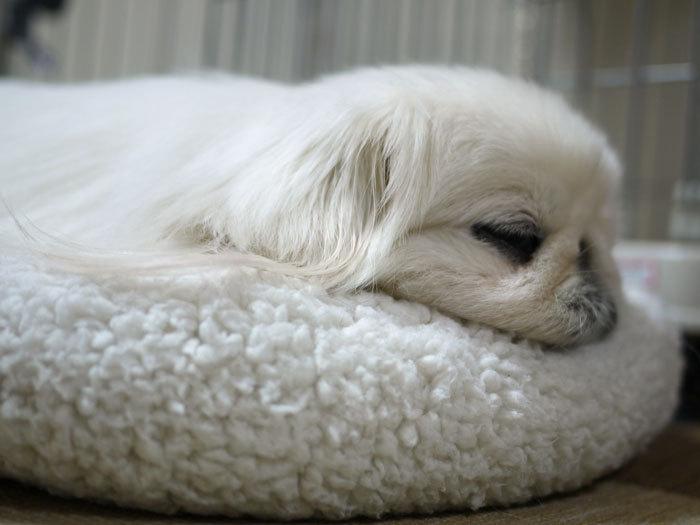ペキニーズ Blog-白ペキニーズ シロ♂ & 白黒ペキニーズ クロ♀のフォトブログ-2012.6.3.シロ