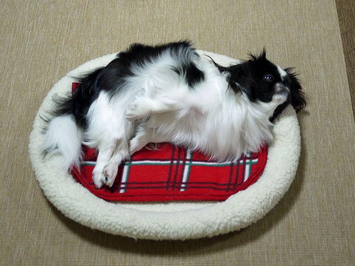 ペキニーズ Blog-白ペキニーズ シロ♂ & 白黒ペキニーズ クロ♀のフォトブログ-2012.6.3.クロ