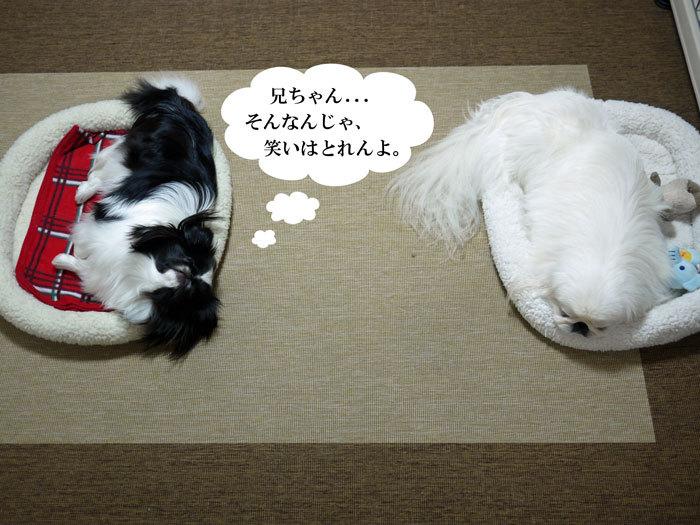 ペキニーズ Blog-白ペキニーズ シロ♂ & 白黒ペキニーズ クロ♀のフォトブログ-2012.6.3.シロクロ