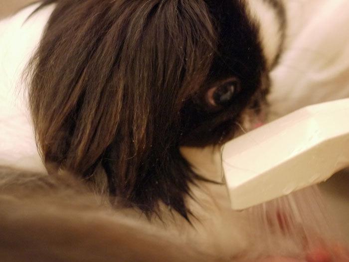 ペキニーズ Blog-白ペキニーズ シロ♂ & 白黒ペキニーズ クロ♀のフォトブログ-2012.6.16.クロ