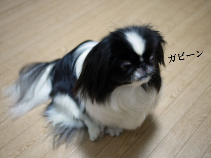ペキニーズ Blog-白ペキニーズ シロ♂ & 白黒ペキニーズ クロ♀のフォトブログ-2012.5.15.クロ