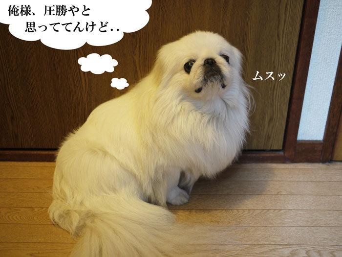 ペキニーズ Blog-白ペキニーズ シロ♂ & 白黒ペキニーズ クロ♀のフォトブログ-2012.5.15.シロ
