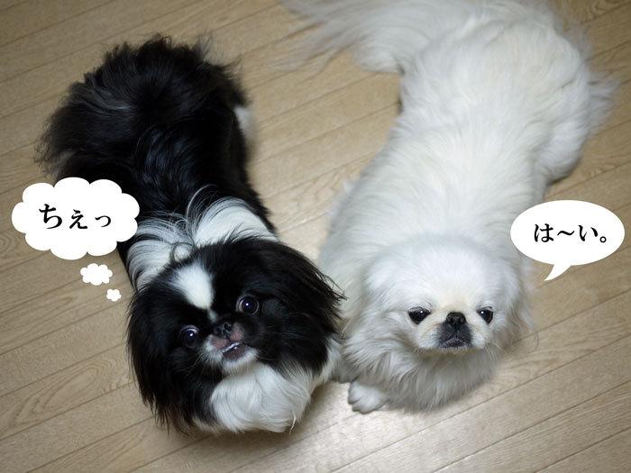 ペキニーズ Blog-白ペキニーズ シロ♂ & 白黒ペキニーズ クロ♀のフォトブログ-2012.5.15.シロクロ