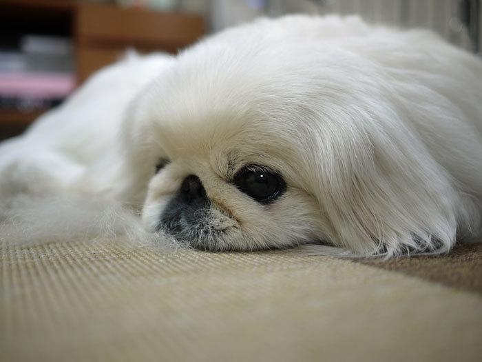 ペキニーズ Blog-白ペキニーズ シロ♂ & 白黒ペキニーズ クロ♀のフォトブログ-2012.6.26.シロ
