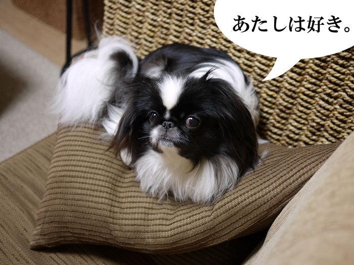 ペキニーズ Blog-白ペキニーズ シロ♂ & 白黒ペキニーズ クロ♀のフォトブログ-2012.6.29.クロ