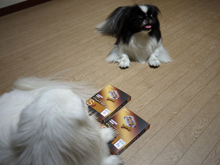 ペキニーズ Blog-白ペキニーズ シロ♂ & 白黒ペキニーズ クロ♀のフォトブログ-2012.7.2.シロクロ