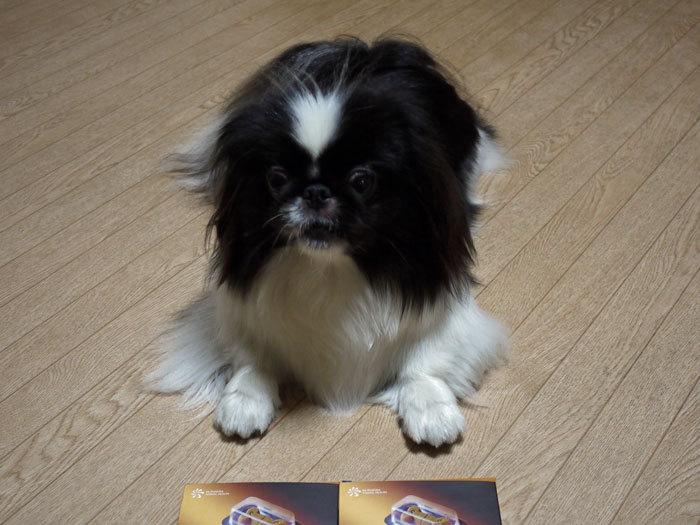 ペキニーズ Blog-白ペキニーズ シロ♂ & 白黒ペキニーズ クロ♀のフォトブログ-2012.7.2.クロ