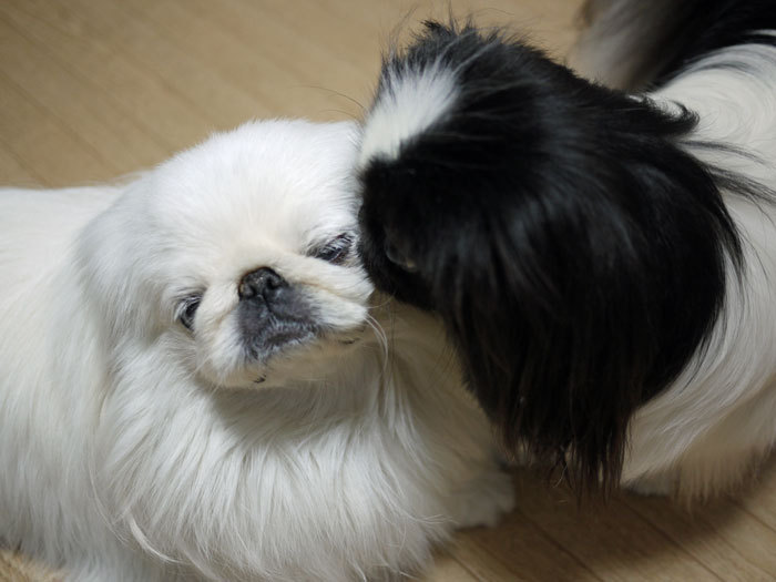 ペキニーズ Blog-白ペキニーズ シロ♂ & 白黒ペキニーズ クロ♀のフォトブログ-2012.7.7.シロクロ