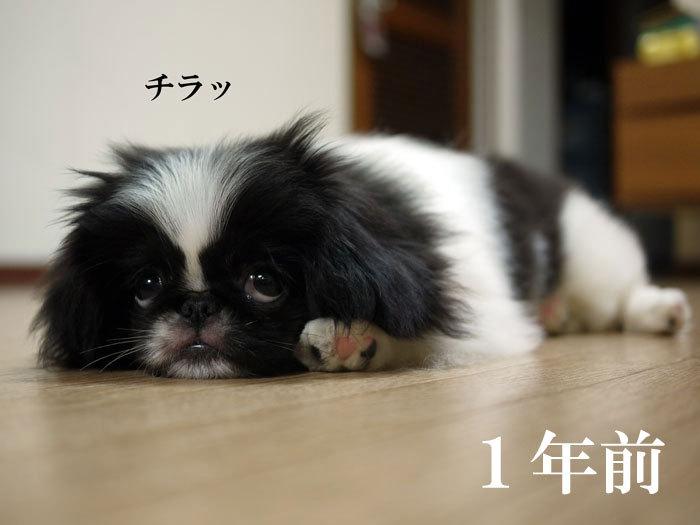 ペキニーズ Blog-白ペキニーズ シロ♂ & 白黒ペキニーズ クロ♀のフォトブログ-2012.7.7.クロ昔