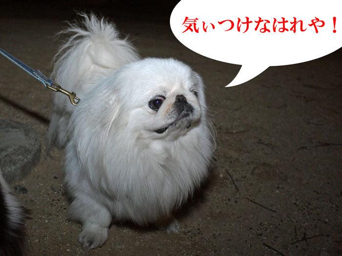ペキニーズ Blog-白ペキニーズ シロ♂ & 白黒ペキニーズ クロ♀のフォトブログ-2012.7.11.シロ