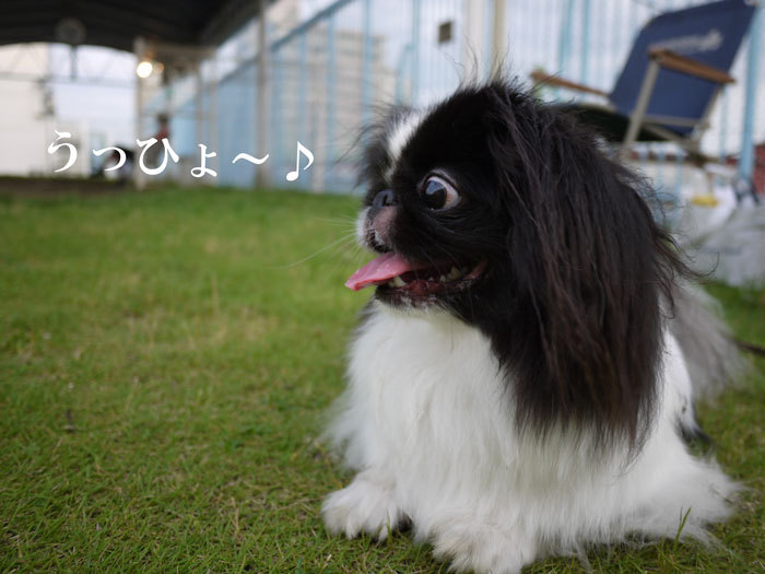ペキニーズ Blog-白ペキニーズ シロ♂ & 白黒ペキニーズ クロ♀のフォトブログ-2012.7.18.クロ2