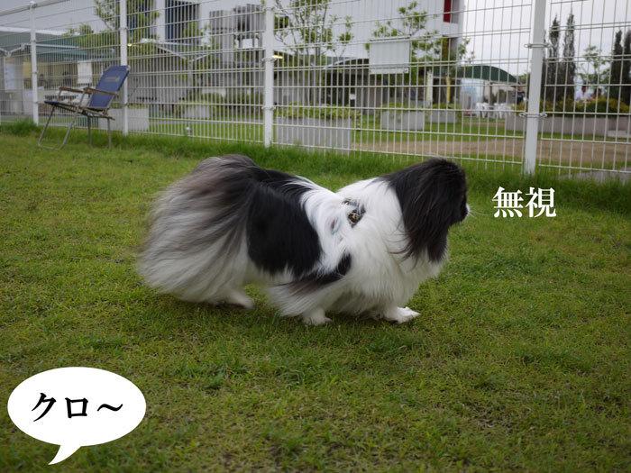 ペキニーズ Blog-白ペキニーズ シロ♂ & 白黒ペキニーズ クロ♀のフォトブログ-2012.7.18.クロ無視