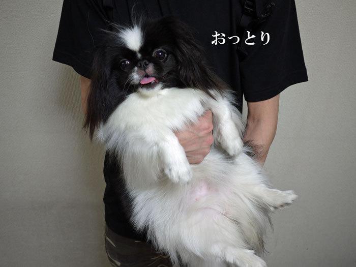 ペキニーズ Blog-白ペキニーズ シロ♂ & 白黒ペキニーズ クロ♀のフォトブログ-2012.7.26.クロ2