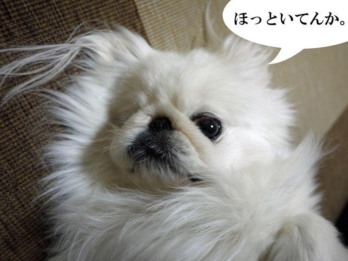 ペキニーズ Blog-白ペキニーズ シロ♂ & 白黒ペキニーズ クロ♀のフォトブログ-2012.7.26.シロ