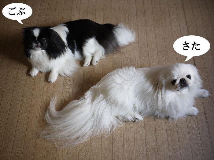 ペキニーズ Blog-白ペキニーズ シロ♂ & 白黒ペキニーズ クロ♀のフォトブログ-2012.8.11.シロクロ1