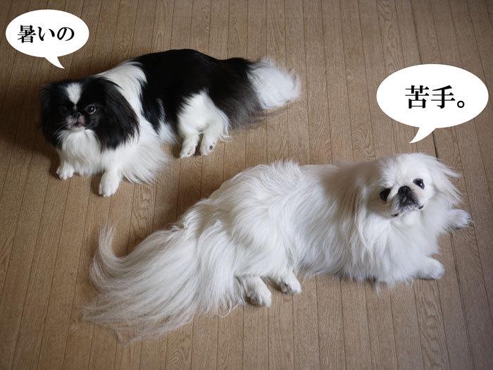 ペキニーズ Blog-白ペキニーズ シロ♂ & 白黒ペキニーズ クロ♀のフォトブログ-2012.8.11.シロクロ2