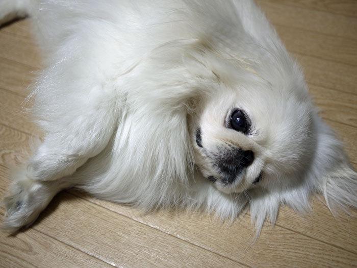 ペキニーズ Blog-白ペキニーズ シロ♂ & 白黒ペキニーズ クロ♀のフォトブログ-2012.8.11.シロ3