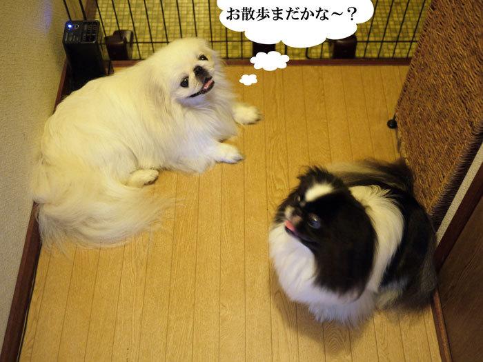 ペキニーズ Blog-白ペキニーズ シロ♂ & 白黒ペキニーズ クロ♀のフォトブログ-2012.8.11.シロクロ6