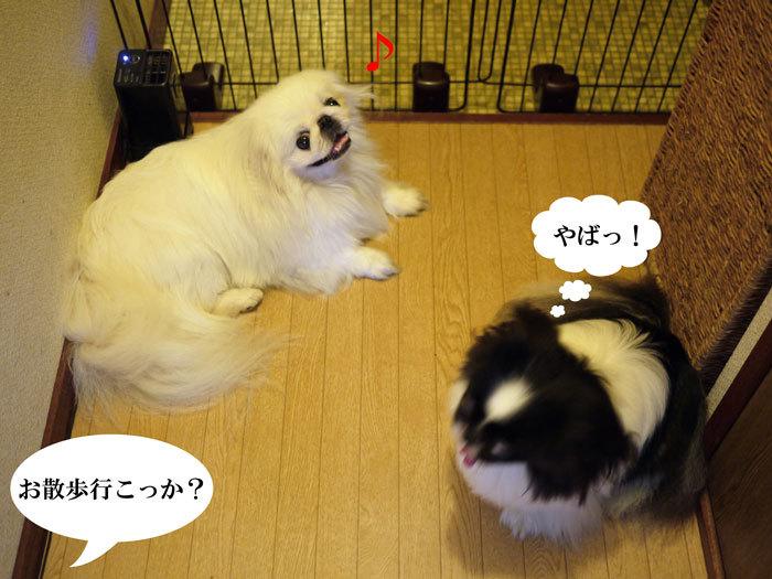 ペキニーズ Blog-白ペキニーズ シロ♂ & 白黒ペキニーズ クロ♀のフォトブログ-2012.8.11.シロクロ7