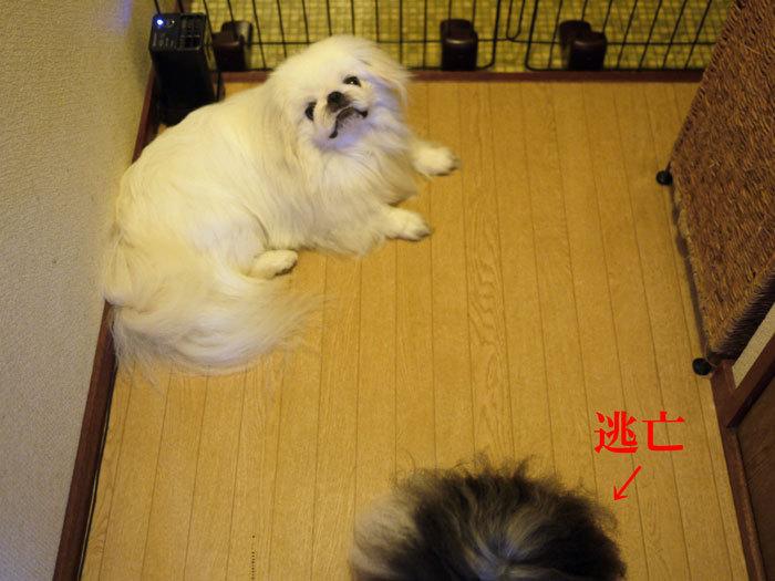 ペキニーズ Blog-白ペキニーズ シロ♂ & 白黒ペキニーズ クロ♀のフォトブログ-2012.8.11.シロクロ8