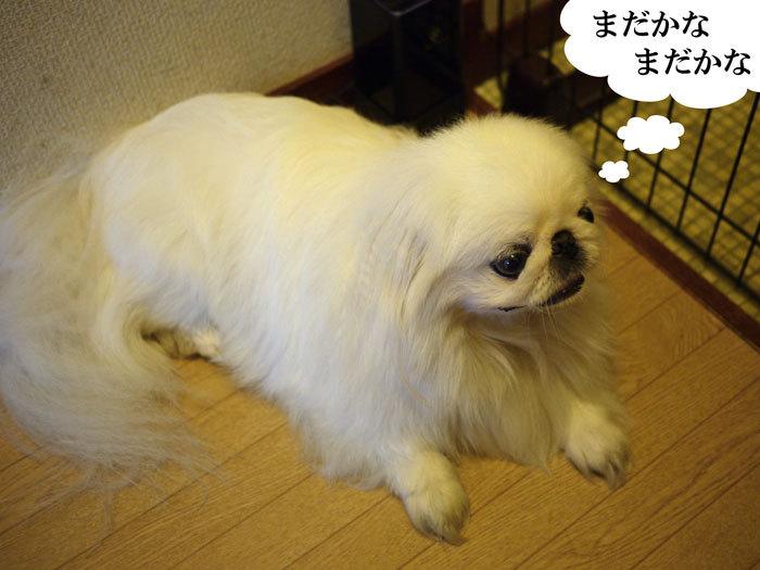 ペキニーズ Blog-白ペキニーズ シロ♂ & 白黒ペキニーズ クロ♀のフォトブログ-2012.8.11.シロ9