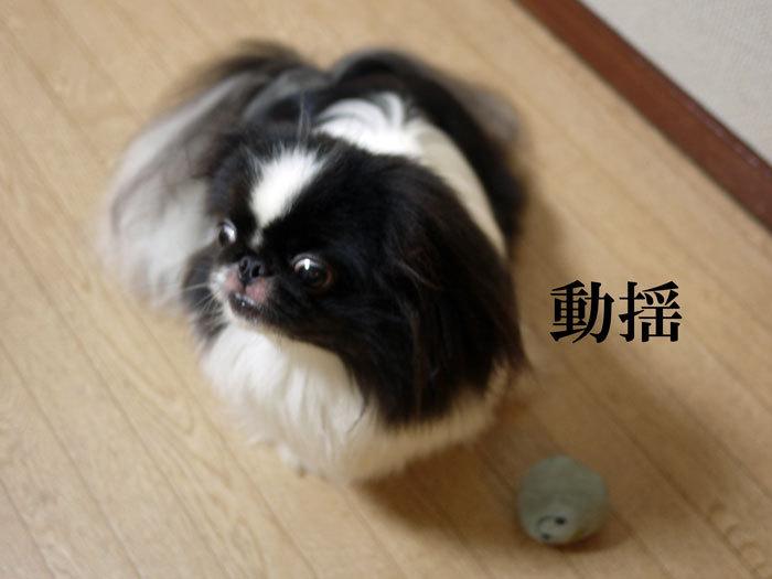 ペキニーズ Blog-白ペキニーズ シロ♂ & 白黒ペキニーズ クロ♀のフォトブログ-2012.8.11.クロ11