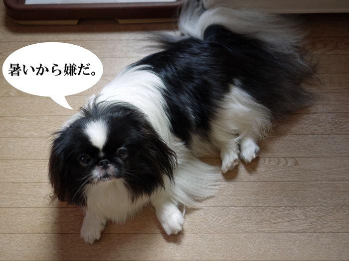 ペキニーズ Blog-白ペキニーズ シロ♂ & 白黒ペキニーズ クロ♀のフォトブログ-2012.8.11.クロ12