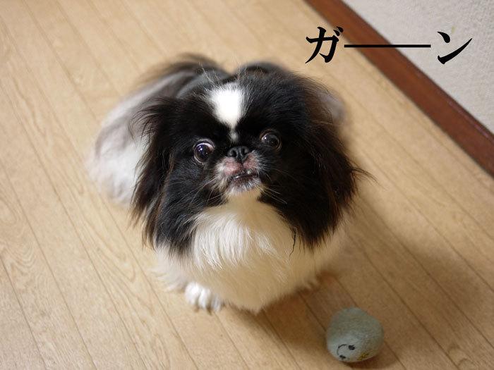 ペキニーズ Blog-白ペキニーズ シロ♂ & 白黒ペキニーズ クロ♀のフォトブログ-2012.8.11.クロ16