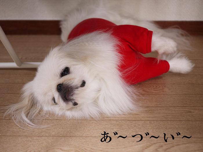 ペキニーズ Blog-白ペキニーズ シロ♂ & 白黒ペキニーズ クロ♀のフォトブログ-2012.8.12.シロ1