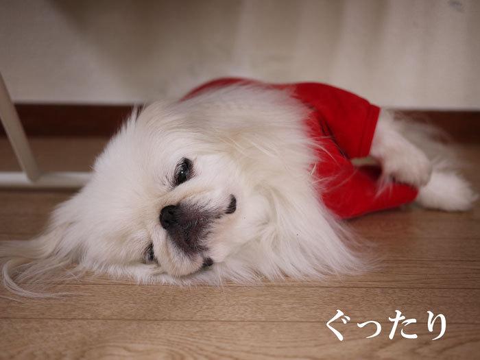 ペキニーズ Blog-白ペキニーズ シロ♂ & 白黒ペキニーズ クロ♀のフォトブログ-2012.8.12.シロ2