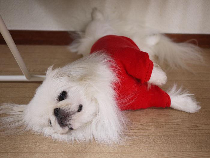 ペキニーズ Blog-白ペキニーズ シロ♂ & 白黒ペキニーズ クロ♀のフォトブログ-2012.8.12.シロ3