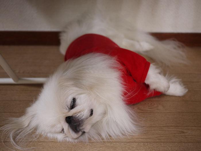 ペキニーズ Blog-白ペキニーズ シロ♂ & 白黒ペキニーズ クロ♀のフォトブログ-2012.8.12.シロ4