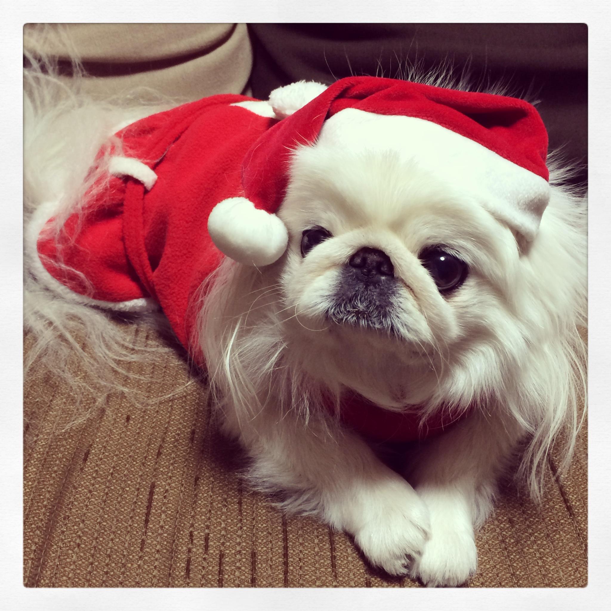 ペキニーズとクリスマス (2)