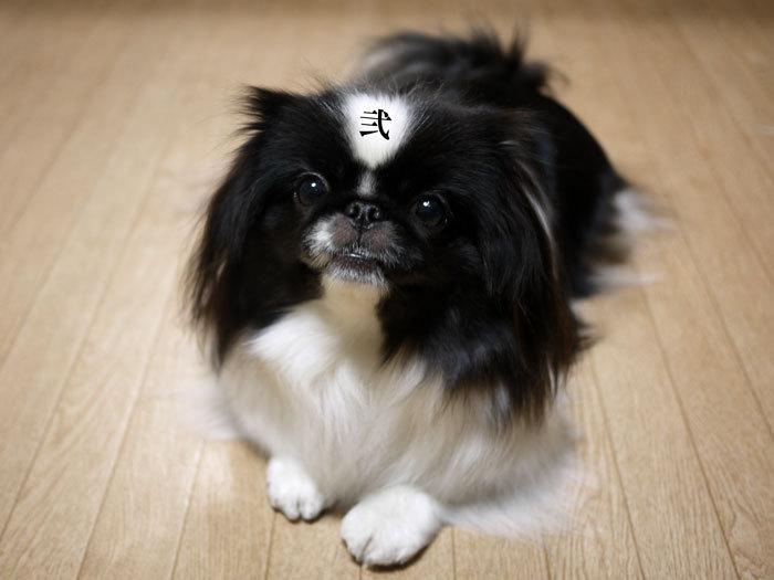 ペキニーズクロ嬢-今日は、我が家のお姫様の誕生日♥ (1)